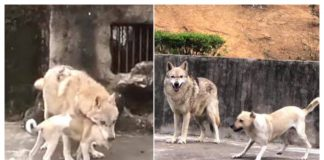 wolf and dog, a love story